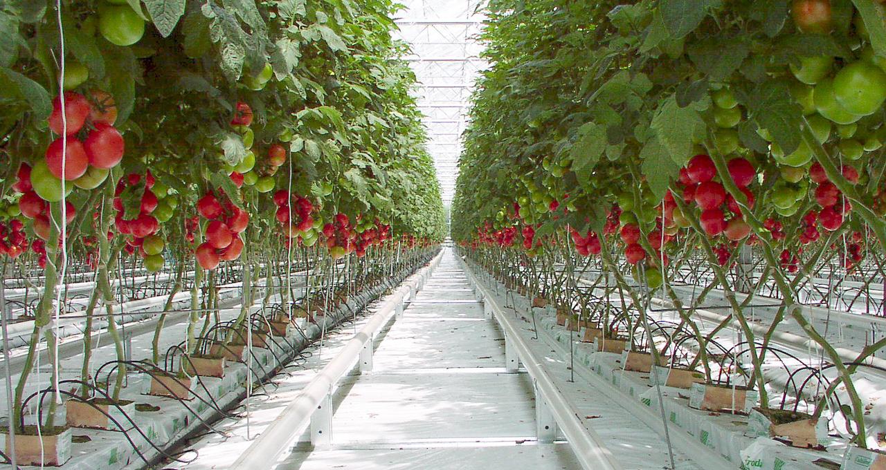 Ứng dụng công nghệ cao, Hà Lan đạt sản lượng cao hơn 270 lần so với cùng diện tích đất canh tác tại quốc gia khác