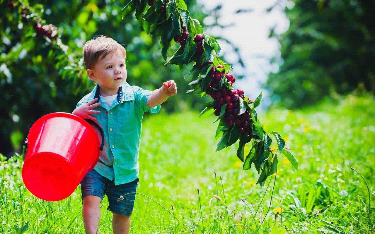 Kết quả hình ảnh cho hái cherry ở sydney