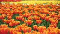 16-04-20-tin-vui-gia-han-nop-don-hoc-bong-du-hoc-ha-lan-orange-tulip-2020