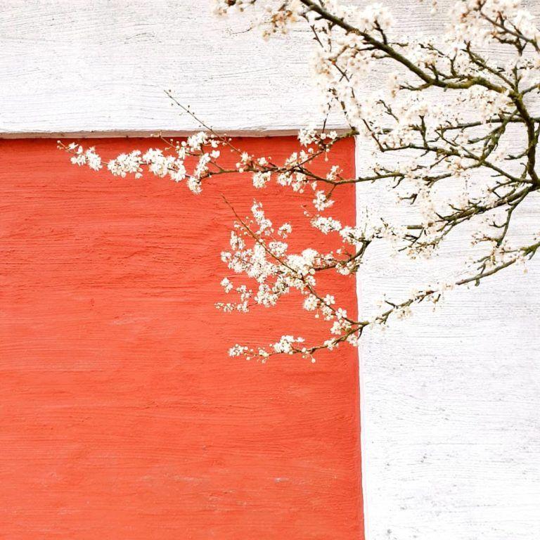 Sắc hoa trắng tinh giữa một sáng mùa xuân trong vắt