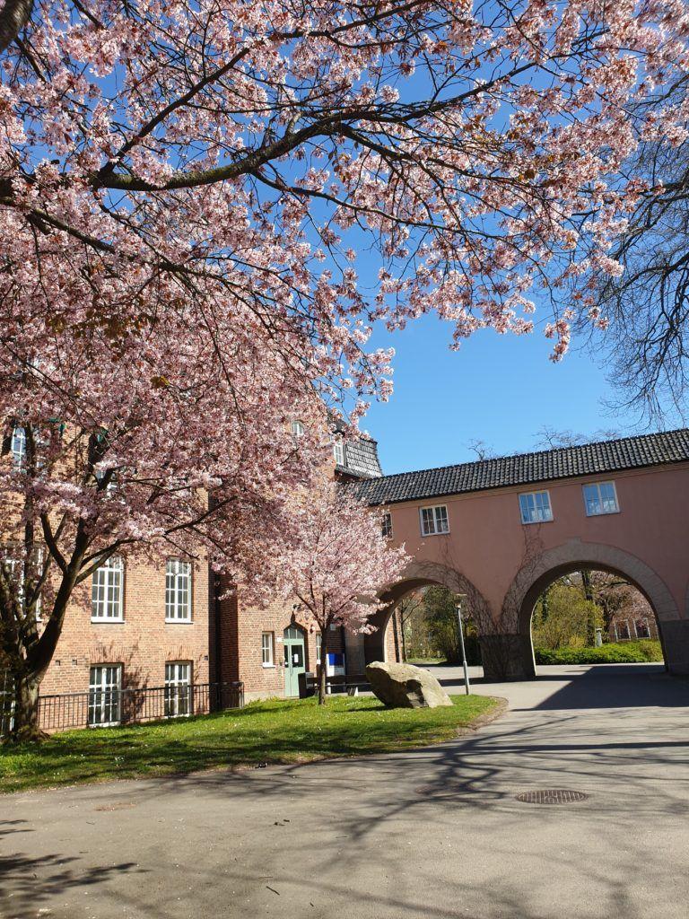 Một góc Đại học Lund bừng sáng sắc hoa anh đào