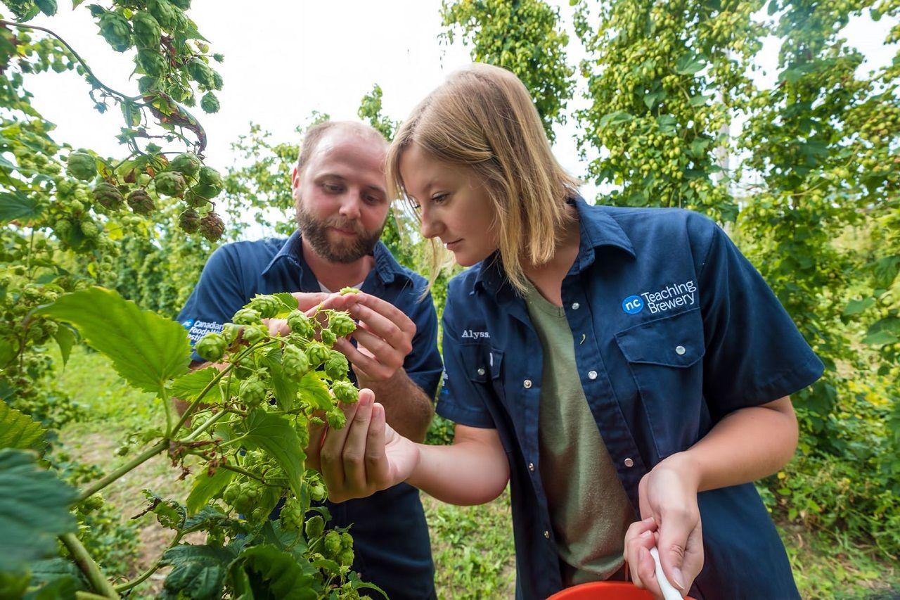 Cao đẳng Niagara có vườn hoa bia làm nguyên liệu ủ bia thủ công ngay tại trường